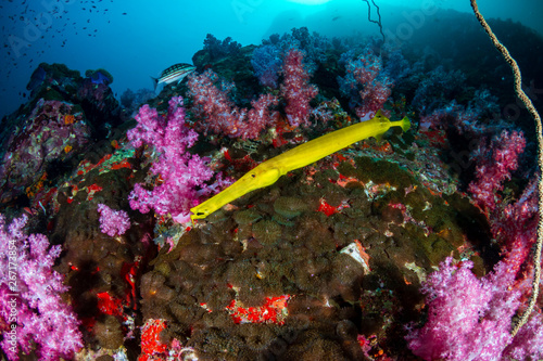 Poster Coral reefs Yellow Cornetfish around colorful soft corals on a tropical reef (Black Rock, Myanmar)