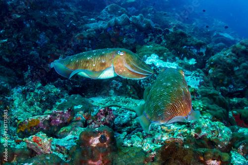 Fototapeta A pair of Cuttlefish on a murky, dark coral reef (Black Rock, Mergui Archipelago, Myanmar) obraz na płótnie