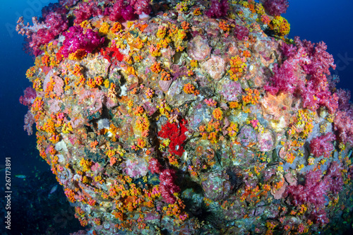 Fototapety, obrazy: Beautifully colored soft corals on a tropical reef in the Mergui Archipelago