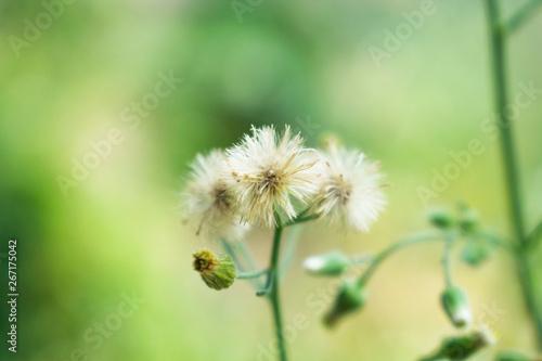 Fototapety, obrazy: White grass flowers, blurred background