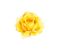 Yellow Rose Seamless Watercolor On White