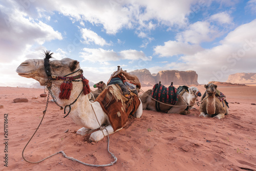 Poster Chameau Group of camels chilling in the morning at Wadi Rum desert, Jordan, Middle-East
