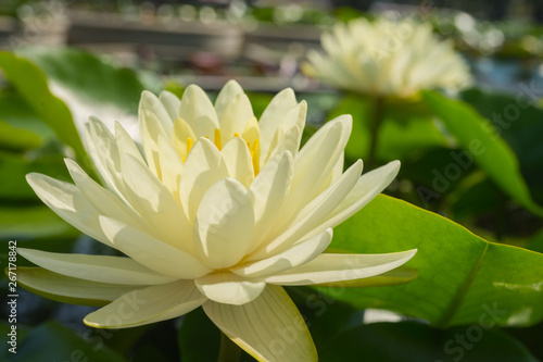 Poster de jardin Nénuphars Yellow water lily flower bloom in morning light