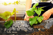 Farmer Grow Sweet Potato Plant...