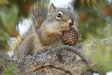 Squirrel Eating A Pine Cone In...