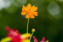Single Orange Flower In Garden