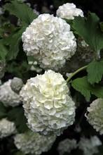 White Flowers Of Viburnum Snow...