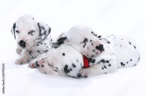 Schlafende Hundewelpen Obraz na płótnie