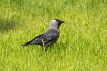 Coloeus Monedula Or Corvus Monedula Walking In A Grass Field. Sunny Summer Day. Landscape