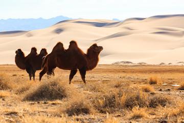 chameau dromadaire dans le ...