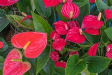 Tailflower (Anthurium Andraean...