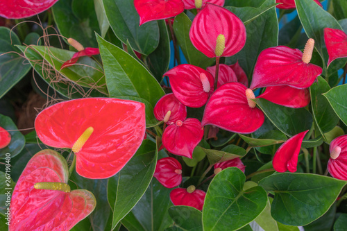 Tailflower (Anthurium andraeanum) in greenhouse Canvas Print