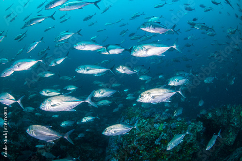 A school of Jacks on a murky tropical coral reef (Black Rock, Mergui Archipelago, Burma)