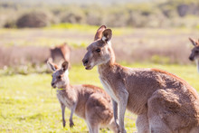 Two Kangaroos In The Park