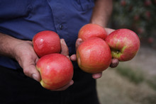 Apple Farmer Holding Pink Lady...