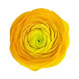 Yellow ranunculus flower head isolated on white