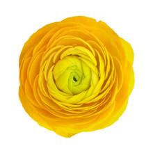 Yellow Ranunculus Flower Head ...