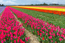Spring Blooming Tulip Field, The Netherlands