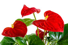 Isolated Red Anthurium Flower Blossom
