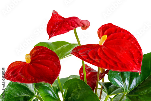 Photo Isolated red anthurium flower blossom