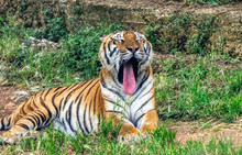 Tiger Yawns With His Tongue Out Of His Mouth In A Zoo