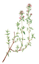 Thyme (Thymus Vulgaris) Botanical Drawing Over White Background