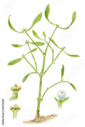 Fototapeta  Mistletoe (Viscum album) botanical drawing over white background