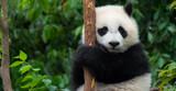 Fototapeta Zwierzęta - Giant Panda bear baby cub sitting in tree in China Close-up