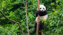 Giant Panda Bear Baby Cub Sitting In Tree In China