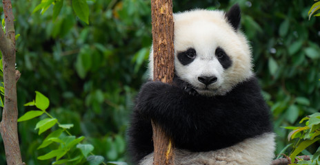 FototapetaGiant Panda bear baby cub sitting in tree in China Close-up