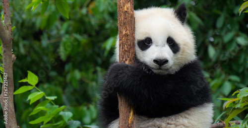 Wall Murals Panda Giant Panda bear baby cub sitting in tree in China Close-up