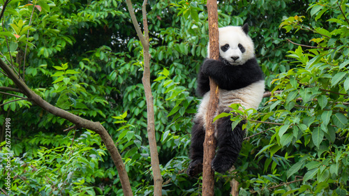 Giant Panda bear baby cub sitting in tree in China
