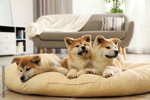Cute akita inu puppies on pet pillow indoors Fototapete