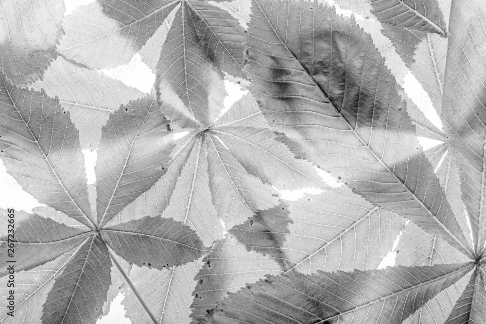 Fototapeta leaves from Horse chestnut tree - Aesculus hippocastanum