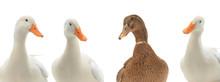 Portrait Four Ducks Isolated On White