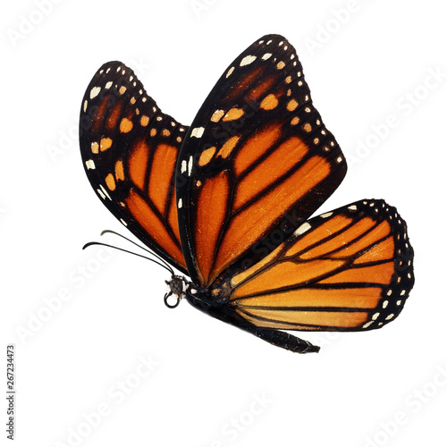 Fotografiet  Beautiful monarch butterfly