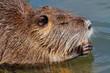 canvas print picture - Nutria or coipo (Myocastor coypus) feeding in natural habitat, South America.