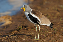 White-crowned Lapwing (Vanellus Albiceps), Kruger National Park, South Africa.