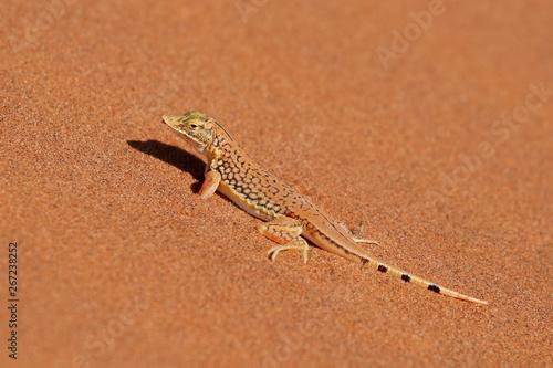 Photo  A shovel-snouted lizard (Meroles anchietae) on a sand dune, Namib desert, Namibia