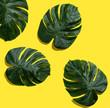 Leinwandbild Motiv Tropical plant Monstera leaves overhead view flat lay