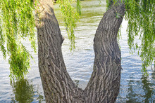 Twin Willow Trees With Twisted Trunks Have The Shape Of Woman Legs