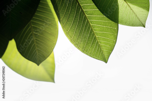 Backlit Green Leaf in Summer or Spring. Natural Sunlight Shining Throuth the Tree. Concept for Earth Day and Ecology
