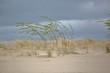 Wydma na plaży nad morzem bałtyckim, rzadka sucha roślinność smagana silnym wiatrem, na tle ciemnoniebieskiego pochmurnego nieba