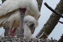 African Spoonbill Chick Feeding