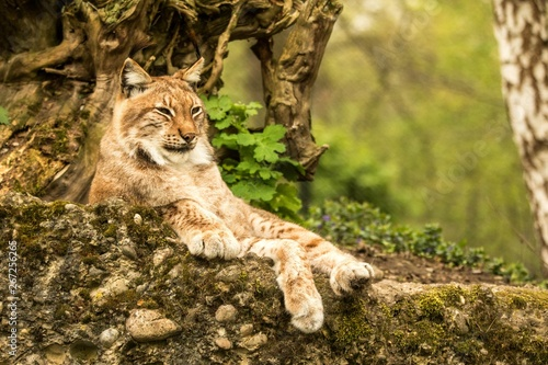 Foto op Plexiglas Lynx Close up portrait of European Lynx lying and resting in spring landscape in natural forest habitat, lives in forests, taiga, steppe and tundra, beautiful predator, wild cat animal in captivity, zoo