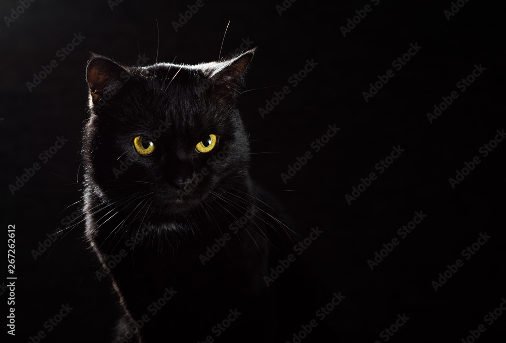 Fototapety, obrazy: Portrait of a black cat in studio on black wall background