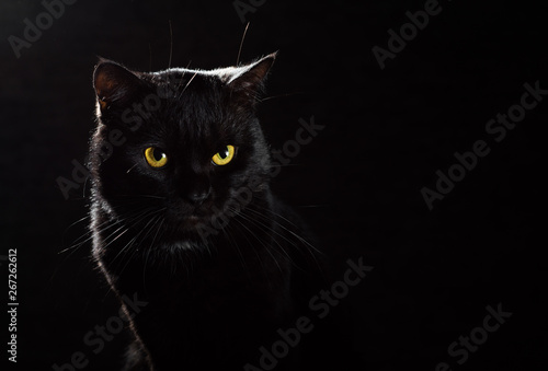 Fotografía Portrait of a black cat in studio on black wall background