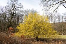 A Flowering Cornelian Cherry Dogwood In Springtime