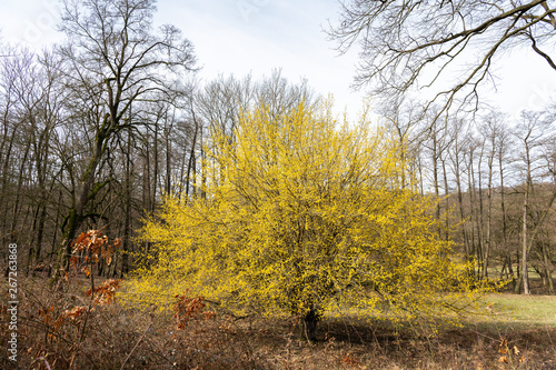 Vászonkép A flowering cornelian cherry dogwood in springtime