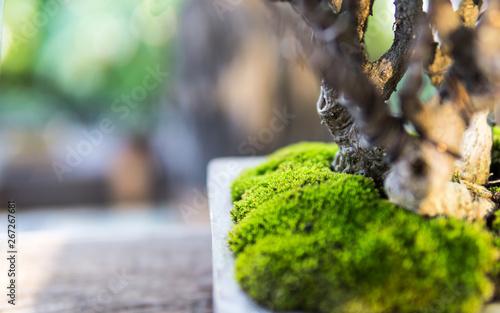 Spoed Fotobehang Bonsai Bonsai in the garden of a cafe